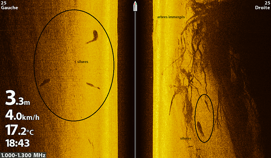 Plusieurs silures dans une veine de courant